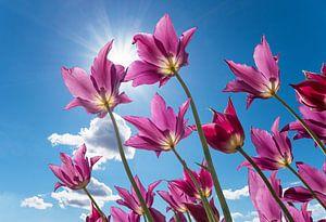 paarse tulpen en zonneschijn van Susanne Bauernfeind