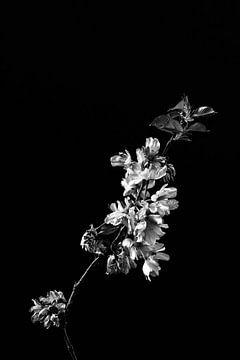 Blüte als Stillleben in Schwarz-Weiß