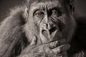 Gorilla Nahaufnahme Portrait in Schwarz-Weiß mit braunen Augen. von Sjoerd van der Wal