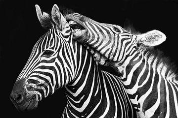 Vechtende zebra's in zwart-wit van De Afrika Specialist