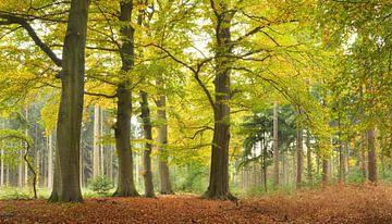 Beukenbos in herfst II van Corinne Welp