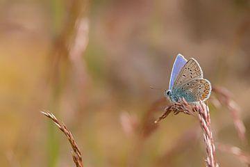 Icarusblauwtje van Albert Eggens