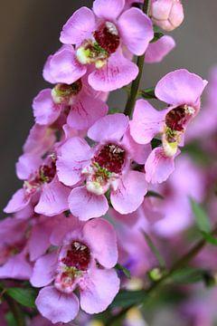 Rosa Blüten Angelonia von Jolanta Mayerberg