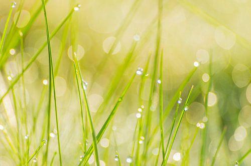 Lente frisheid - dauw in het gras van