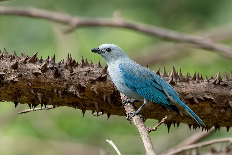 Blue-gray Tanager van Eddy Kuipers