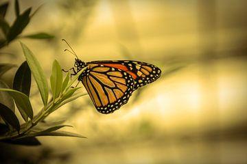 Hangende vlinder von Stedom Fotografie