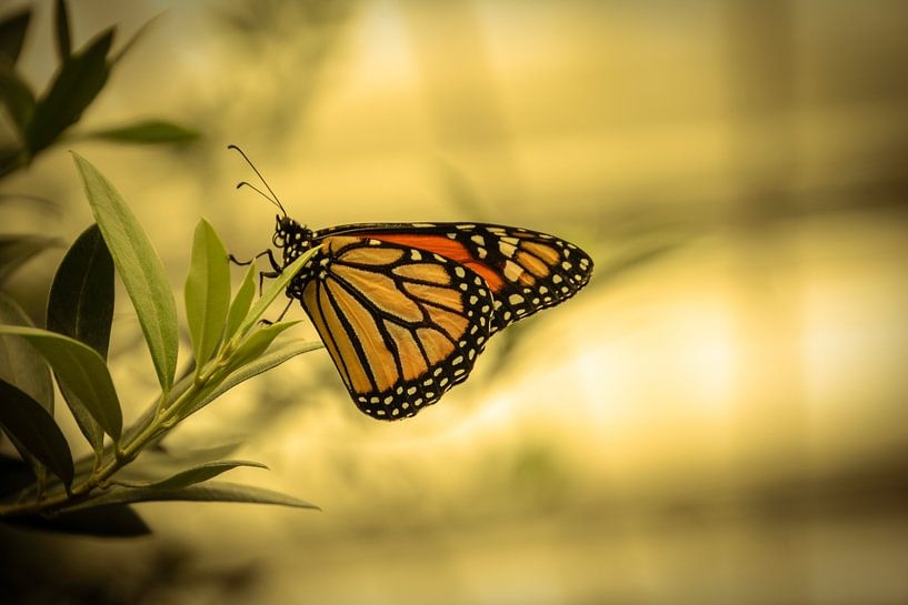 Hangende vlinder van Koop je Canvas