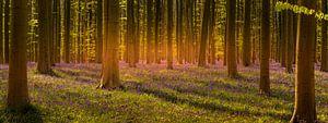 Bluebells paradise van Wim van D