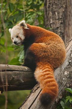 Roter Panda - ein süßes kleines flauschiges rotes Tier (ähnlich wie ein Waschbär) aus den Bergregion von Michael Semenov