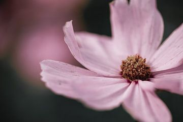 Großer rosa Cosmos / Cosmea-Blüte mit dunklem Hintergrund von KB Design & Photography (Karen Brouwer)