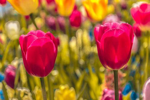 Een kleurvol veld tulpen