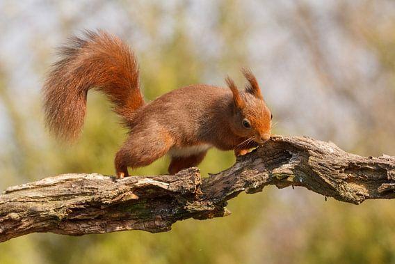 Eekhoorn loopt over een tak