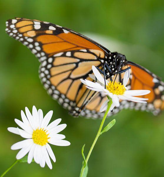 Monarch Butterfly von Ingrid Ronde
