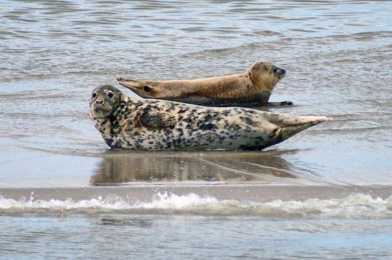 Zeehonden in de Waddenzee