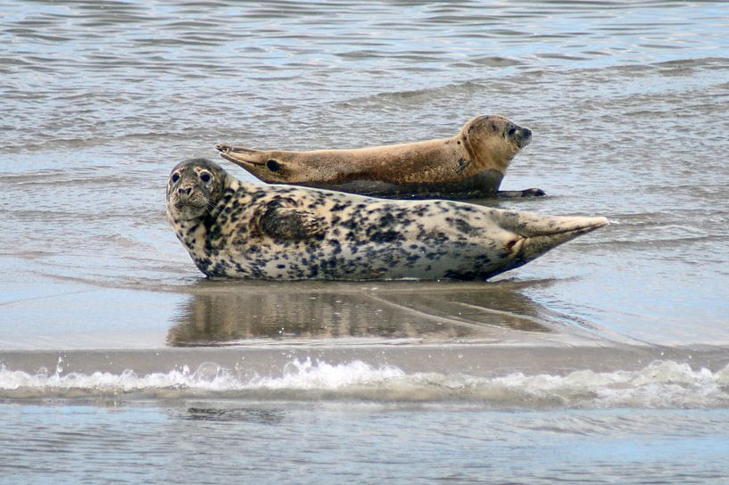 Zeehonden in de Waddenzee van Jeroen van Deel
