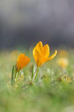 Zwei gelbe Krokusse an einem Frühlingsmorgen von John van de Gazelle