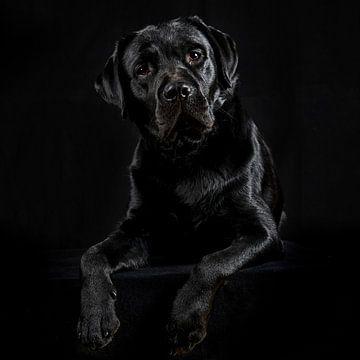 Labrador van