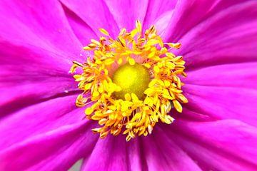 Roze anemoon van Ingrid Bargeman