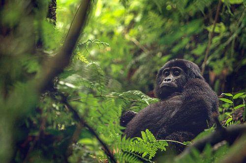 Gorilla met een dikke buik