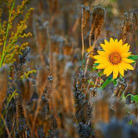 Knal gele zonnebloem, solo in een graanveld van Jenco van Zalk