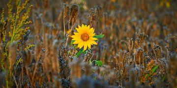 Knal gele zonnebloem, solo in een graanveld