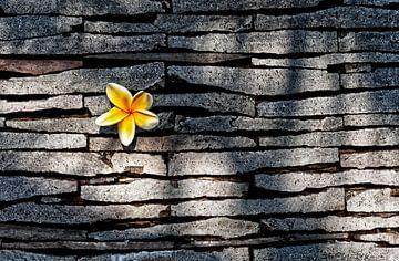 Kemboja fleur dans un mur en pierre naturelle.... sur Wim Schuurmans