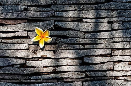 Kemboja bloem von Wim Schuurmans