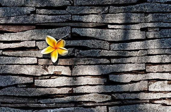 Kemboja bloem van Wim Schuurmans