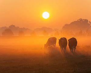 Nieuwsgierige koeien bij zonsopkomst van Alied Kreijkes-van De Belt