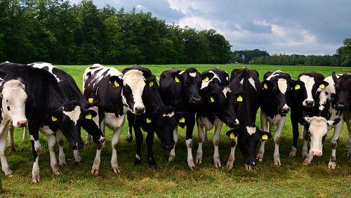 Nieuwsgierige koeien op een rij