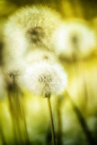 Pusteblumen im Sonnenschein