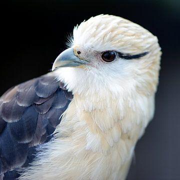 Geelkop Caracara Roofvogel van