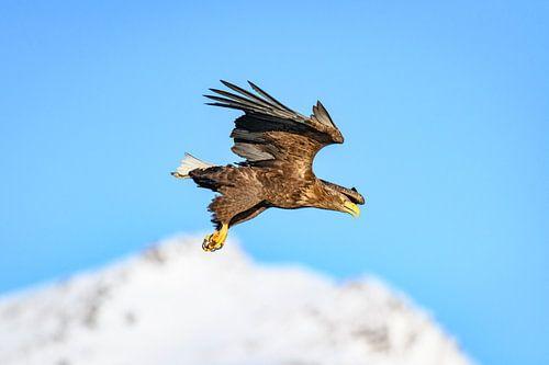 Zeearend jagend in in de lucht boven een fjord in Noorwegen