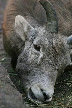 Steenbok van Renate Peppenster