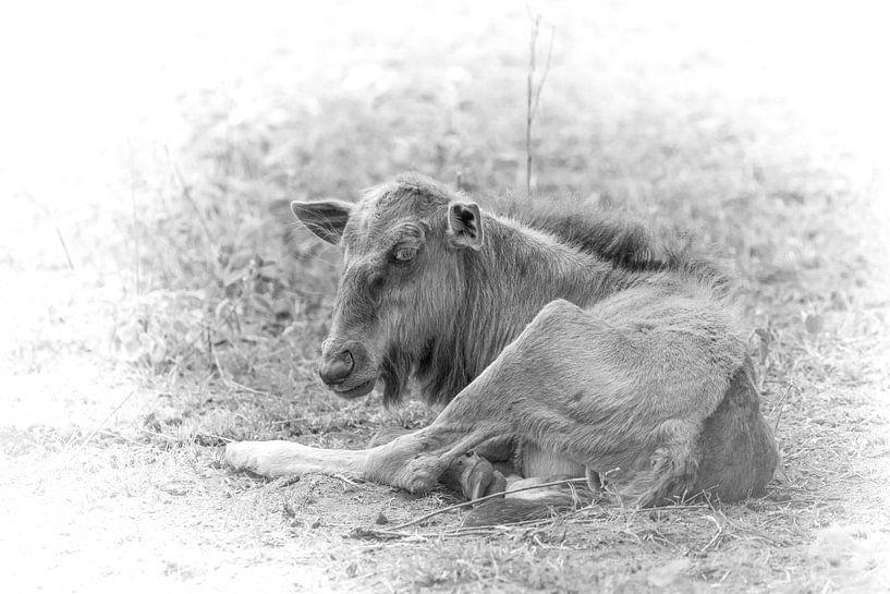Ein junges Gnu. von Gunter Nuyts