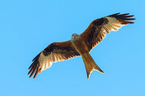 Rode Wouw ( Milvus milvus )