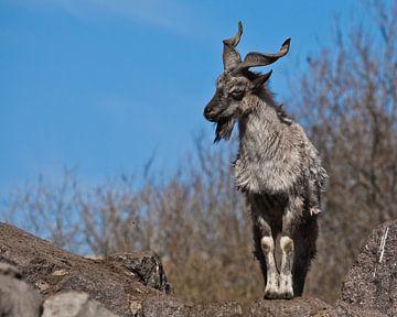 Chèvre à cornes de montagne Markhor sur fond de rochers et de ciel de printemps bleu, un animal puis sur Michael Semenov