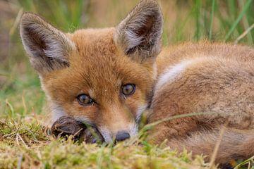 Junger Fuchs von Rando Kromkamp