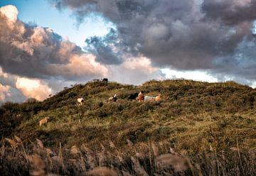 Wilde paarden in de duinen van Terschelling