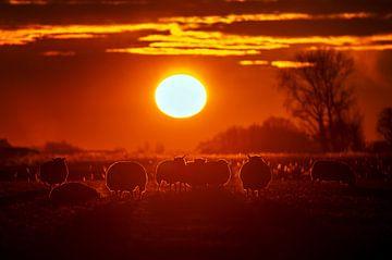 schapen van Niels  de Vries