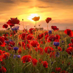 Poppys at Sunset van