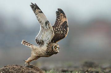 Short eared owl von Menno Schaefer