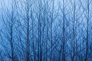 Silhouette van Berkenbomen