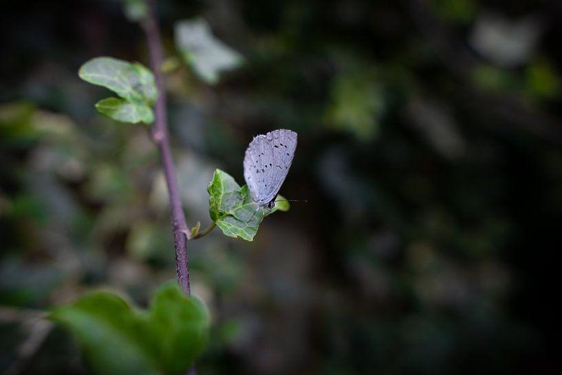 Boomblauwtje op een groene blad van Ricardo Bouman