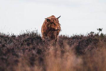 Schottischer Highlander in den Mooren von Dennis Bresser