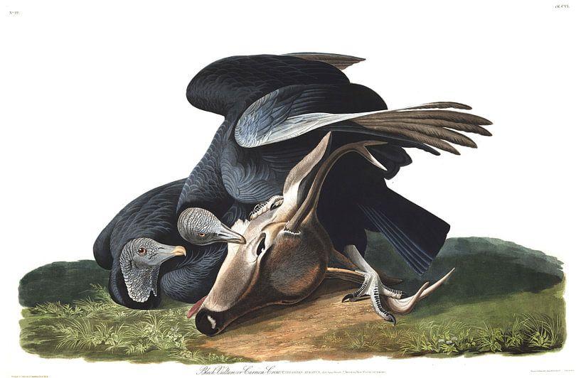Zwarte Gier, Zwarte Kraai van Birds of America