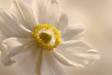 Anemone sur Violetta Honkisz