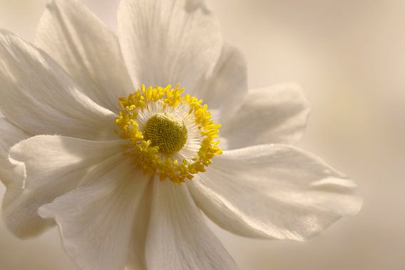 Anemone van Violetta Honkisz
