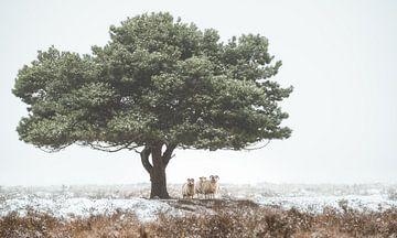 Tree with sheep