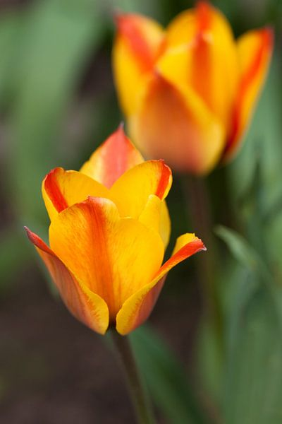 Tulpen van Ada Zyborowicz